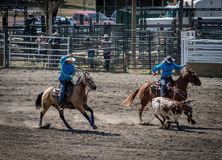 Lassoing at a rodeo Royalty Free Stock Images