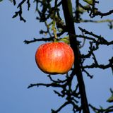 The last apple in the autumn. The last apple on an old tree in the very late autumn Royalty Free Stock Photography