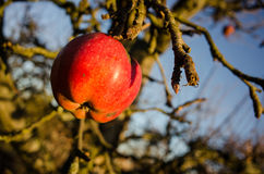 The last apple. Last red apple on a tree in winter Stock Images
