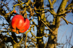 The last apple. Last red apple on a tree in winter Royalty Free Stock Photography