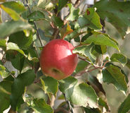 Last apple on the tree. Apple orchard with red ripe apples on the trees Stock Photography