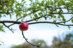 Last apple in tree Royalty Free Stock Photo