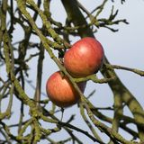 The last apples in the late autumn. The last two apples on an old tree in the very late autumn Stock Photography