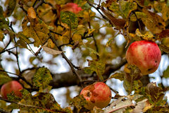 Last apples. Unfortunately these apples won't get on a table - old men have no forces to reap all crop Royalty Free Stock Images