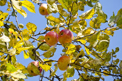 Last autumn apples in farm garden on branch Stock Images