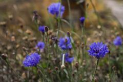 The last of the autumn cornflower royalty free stock image