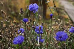 The last of the autumn cornflower royalty free stock photography