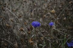 The last of the autumn cornflower royalty free stock images