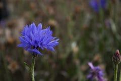 The last of the autumn cornflower stock photo