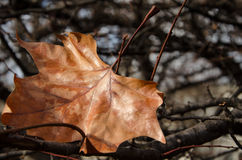 The last autumn leaf Stock Photography