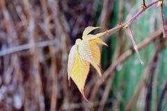 Last autumn leaf on the Blackberry Royalty Free Stock Image