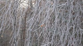 The last autumn leaf on an icy birch branches stock video