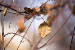 Last autumn leaf on a tree Royalty Free Stock Photo