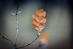 Last autumn leaf on twig Royalty Free Stock Photography