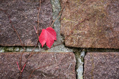 Last autumn leaf on the wall Stock Images