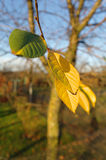 Last autumn leafs Royalty Free Stock Photography
