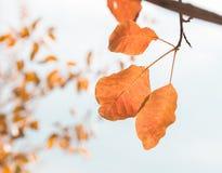 Last autumn leaves on a tree. stock photos