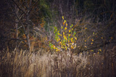 Last autumn tree with yellow leaves Stock Photo
