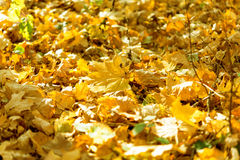 Last autumn yellow leaves Royalty Free Stock Image