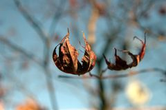 The last autumns leaves before wintertime Royalty Free Stock Image