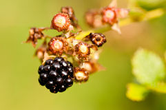Last blackberry Stock Photos