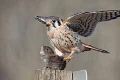Last Breath. An American Kestrel with a fresh catch adjusts before the kill Stock Photos