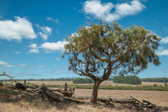 Last Casuarina Standing Stock Images