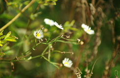 The last chamomile on the swamp Stock Images