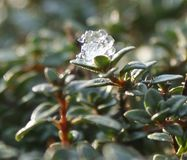 The last cold breath of winter on the awakened thyme. stock photos
