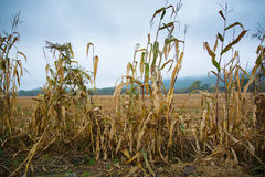 Last corn stems on edge of harvested field. Royalty Free Stock Photo