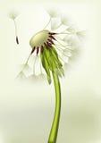Last dandelion Stock Images