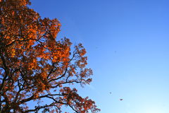 Autumn orange tree. Tree in autumn covered in orange leaves against a deep blue sky Royalty Free Stock Photos
