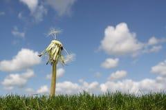 LAST DAYS OF A DANDELION. Dandelion agaist a bright blue sky losing the last seeds Stock Photos