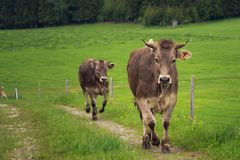 Cattle in the landscape of the Allgäu stock photography