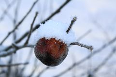 Last dry apple on the branches in the snow royalty free stock image