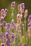 Last evening light on Lavender Royalty Free Stock Photos