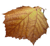Last fall leaf isolated. One of the last leaves of autumn Royalty Free Stock Photo