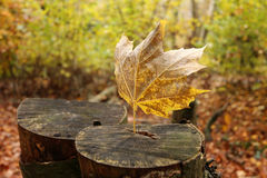 Last falling leave. Isolated falling leave in cut trees Stock Photography
