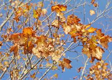 The last few leaves waiting to fall off a Maple Tree at the end of Autumn stock photography