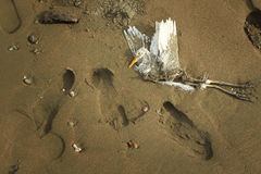 Last flight - dead bird in the sand. In Costa rica Royalty Free Stock Images