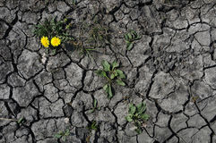 The last flower. Dry season in the southern part of Moravia, Czech Republic, brought dry land with a lot of cracks. Yellow flowers are the hope for some humidity Stock Photos