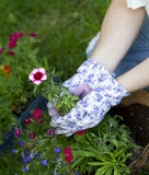 Last flower. Gardener holds last flower to be planted in hanging basket. focus on pink flower Stock Photos