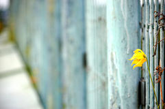 The last flower on the wall Stock Photos