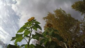Last flowering autumn sunflowers,birch trees and clouds motion, time lapse. Last flowering autumn sunflowers,yellow birch trees and clouds motion, time lapse stock video