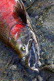 Last Gasp. Spawned out Coho Salmon in spawning colors stock image