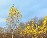 Last gold of autumn Royalty Free Stock Photography