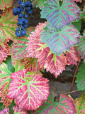 Last of the Grape Harvest Royalty Free Stock Photography