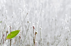 Last green leaf. Green leaf among frozen branches Stock Images