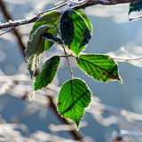 Last green leaves covered by white frost Royalty Free Stock Image