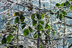 Last green leaves covered by white frost Stock Photography